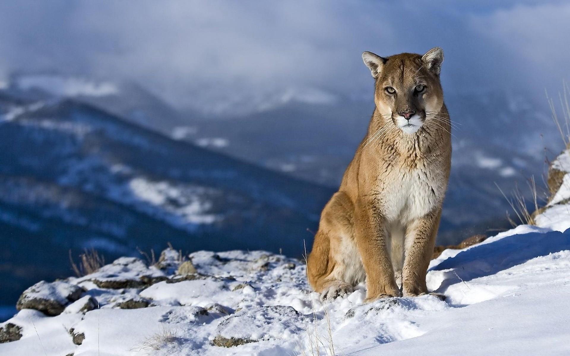 Hình ảnh động vật Báo trên tuyết